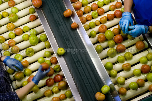 Gloved hands sorting tomatoes on conveyor at factory. shot from above - Mining Photo Stock Library