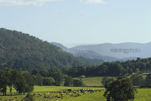 Dairy cattle grazing amongst rolling green hills. - Mining Photo Stock Library