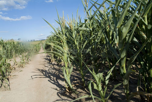 Green corn growing in paddocks for feedlot - Mining Photo Stock Library