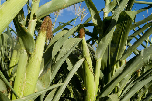 Mature corn growing in paddock upclose - Mining Photo Stock Library