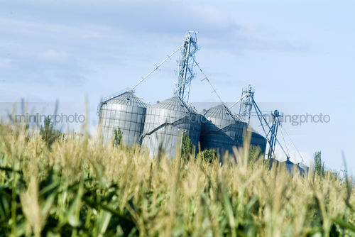 Corn growing in field with storage silos in background - Mining Photo Stock Library