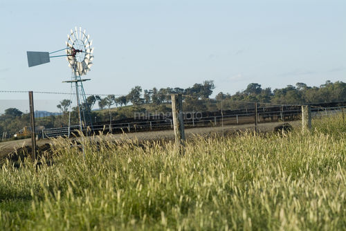 Windmill and feedlot beef cattle inside fenced green grass paddock  - Mining Photo Stock Library