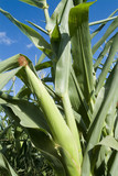 Mining Photo Stock Library - up close green mature corn growing ( Weight: 4  New Image: NO)