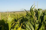 Mining Photo Stock Library - field of green corn ( Weight: 5  New Image: NO)