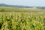Mining Photo Stock Library - field of green corn on a feedlot ( Weight: 5  New Image: NO)