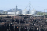 Mining Photo Stock Library - tagged ear beef cattle at feedlot with storage silos in background ( Weight: 5  New Image: NO)