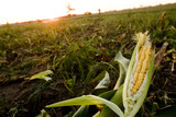 Mining Photo Stock Library - peeled corn in paddock ( Weight: 5  New Image: NO)