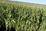 Mining Photo Stock Library - mature corn growing in feedlot field ( Weight: 5  New Image: NO)
