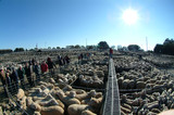 Mining Photo Stock Library - looking along auctioneers walkway at outdoor sheep livestock auction ( Weight: 2  New Image: NO)