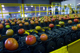 Mining Photo Stock Library - tomato processing factory with produce being sorted on conveyor belt. ( Weight: 1  New Image: NO)