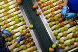 Mining Photo Stock Library - gloved hands sorting tomatoes on conveyor at factory. shot from above ( Weight: 3  New Image: NO)