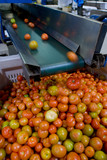 Mining Photo Stock Library - lots of red tomatoes rolling off conveyor at processing factory. vertical shot. ( Weight: 1  New Image: NO)