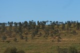 Mining Photo Stock Library - grassy slope of mine revegetation.  clearly depicts the established trees of mine rehab work. ( Weight: 1  New Image: NO)